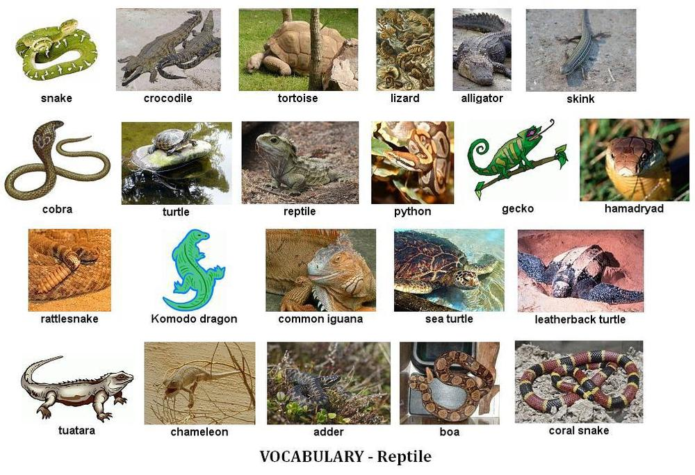 Animals Vocabulary, Exercises and Games   My English Blog 10 Examples Of Reptiles